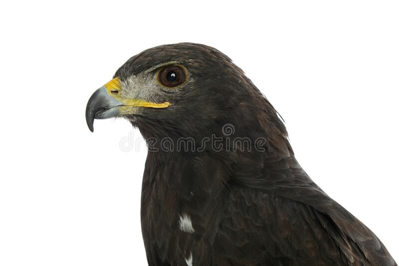 Portrait of an eagle with brown feathers royalty free stock photo