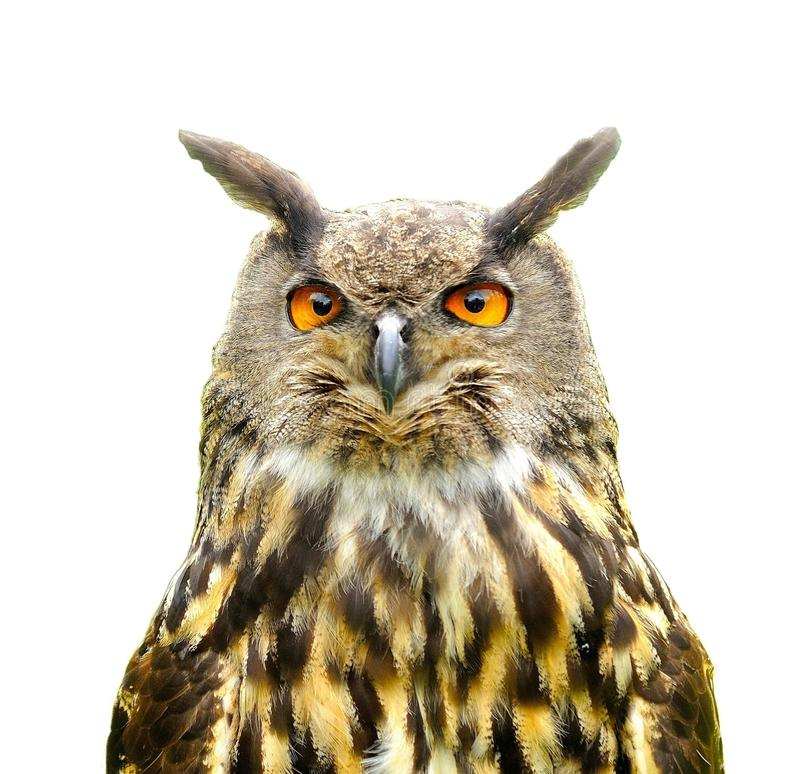 Eagle Owl Bubo Bubo isolated on white. stock photos