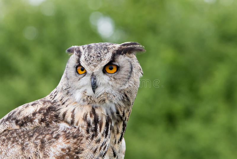 Portrait of an eagle owl with a lush green background stock photography