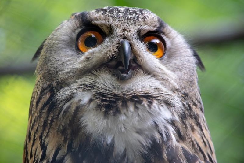 Closeup at a eagle owl royalty free stock photography