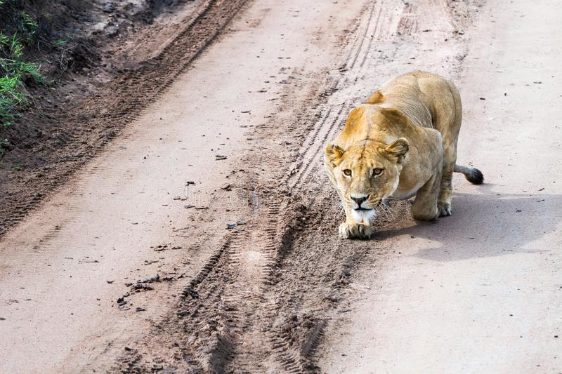 East African lionesses Panthera leo preparing to hunt. Portrait of East African lionesses Panthera leo, genus Panthera, listed as vulnerable, preparing to hunt stock photo