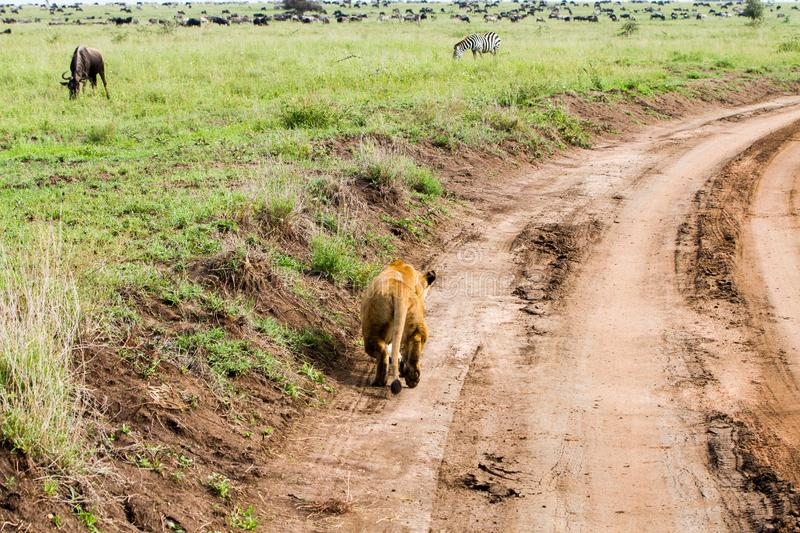 East African lionesses Panthera leo preparing for hunting. Portrait of East African lionesses Panthera leo, genus Panthera, listed as vulnerable, preparing to royalty free stock photo