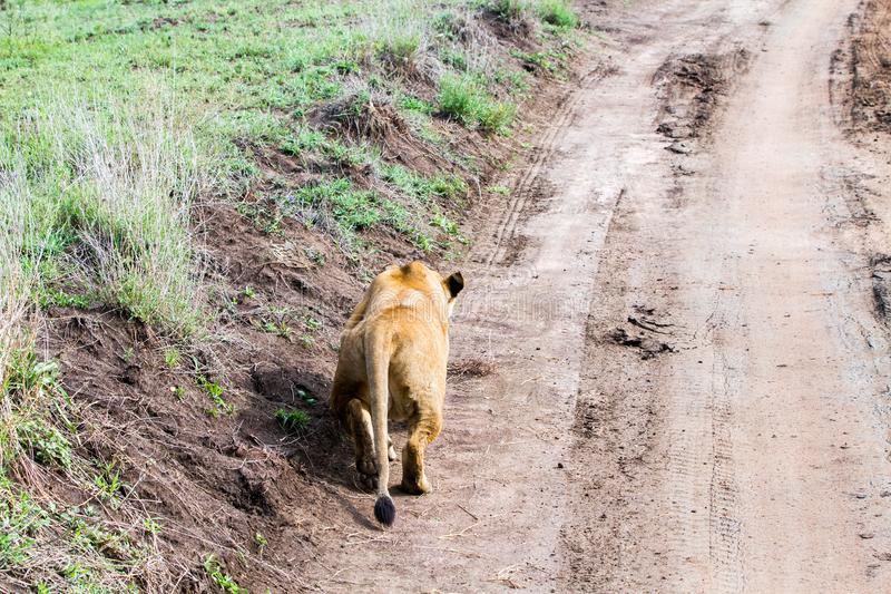 East African lionesses Panthera leo preparing for hunting. Portrait of East African lionesses Panthera leo, genus Panthera, listed as vulnerable, preparing to royalty free stock photography
