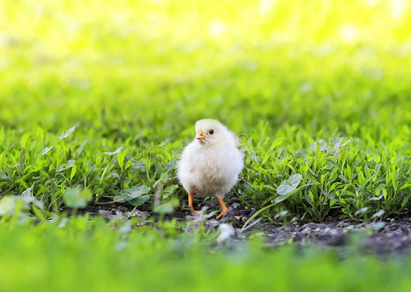 Portrait of Easter little fluffy yellow chicken walking on the lush green grass in the yard of the village on a Sunny spring day. Easter little fluffy yellow stock image