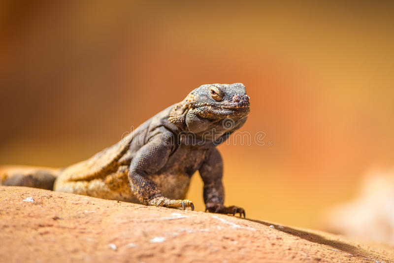 Portrait of eastern collared lizard royalty free stock images