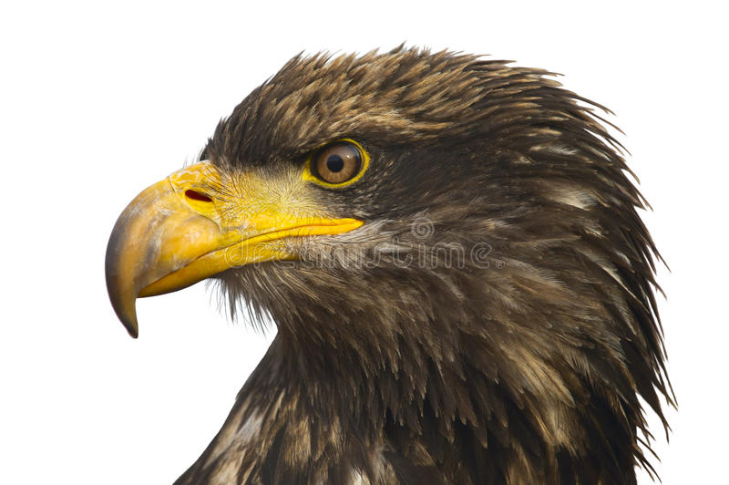 Download Portrait Of The Eastern Eagle Royalty Free Stock Photography - Image: 24269107