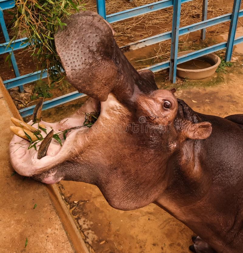 Portrait of eating hippopotamus in Niamey at Niger. Portrait of eating hippopotamus in Niamey, Niger royalty free stock photography