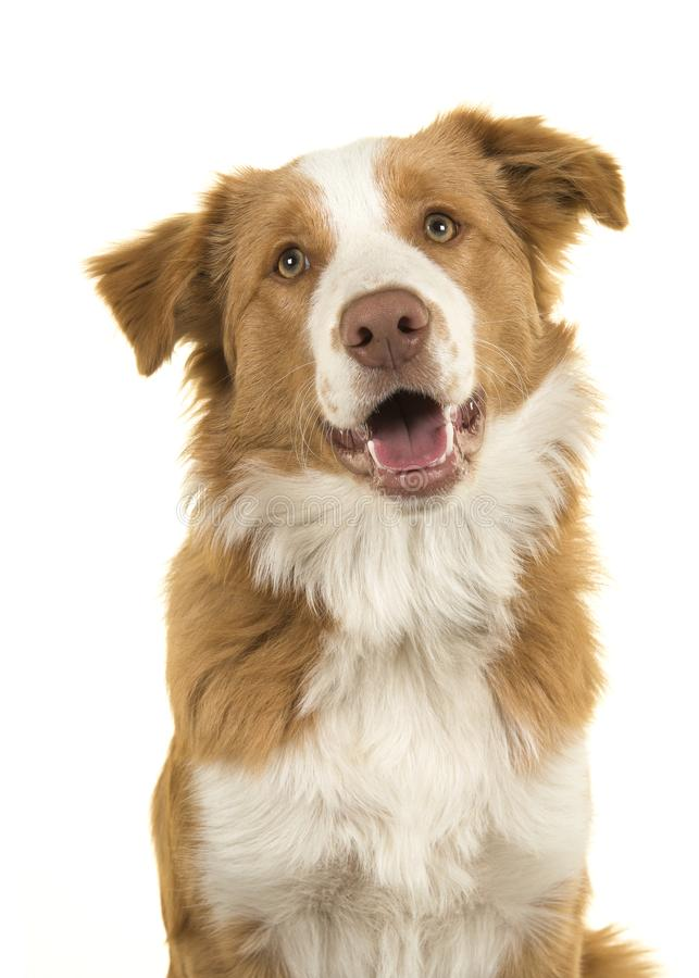 Portrait of a EE-red border collie dog on a white background. With mouth open royalty free stock image