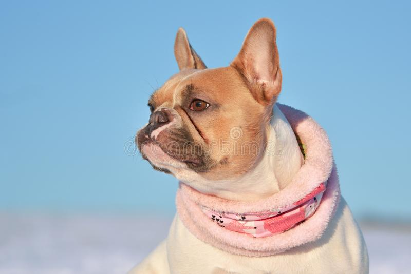 Portrait of eed pied French Bulldog dog wearing a warm pink winter scarf in front of snow royalty free stock images