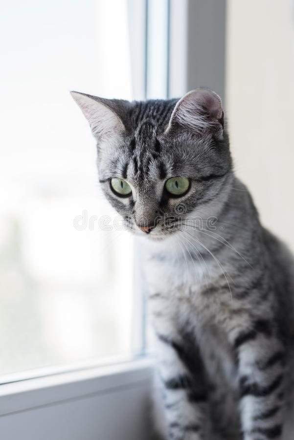 Portrait of Egyptian cat Mau kitten on white. Grey color of hair and green eyes stock photography