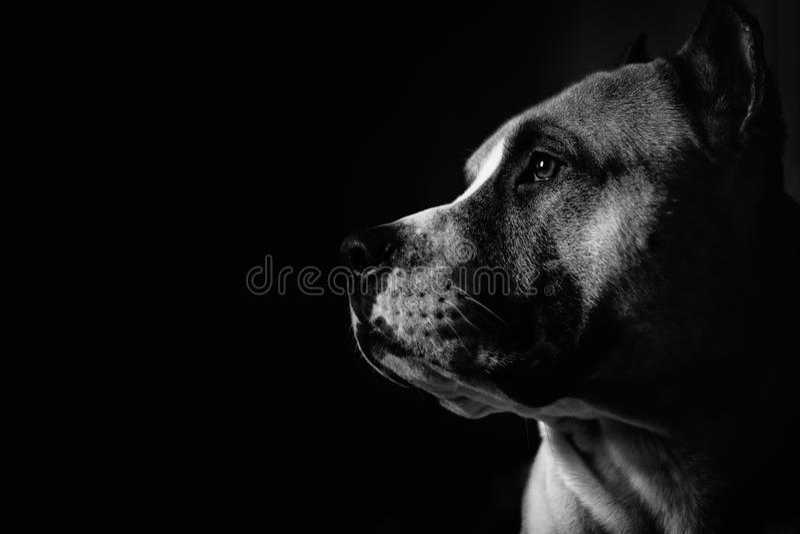 Portrait einer Pitbull lizenzfreies stockfoto