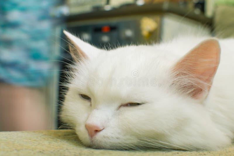Portrait einer weißen Katze stockbild