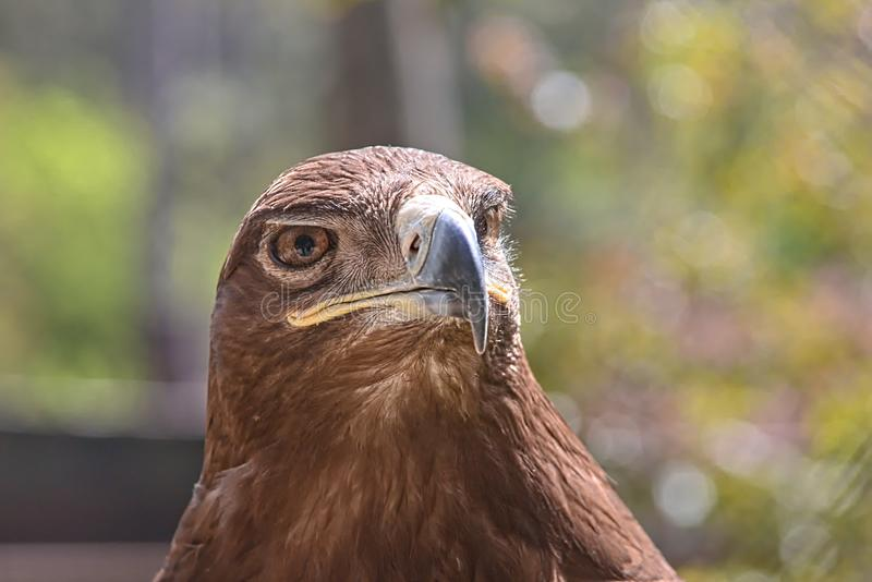 Portrait eines goldenen Adlers lizenzfreies stockbild