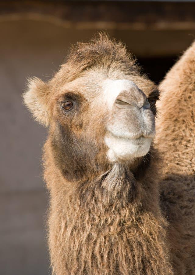 Portrait eines Kamels stockbilder