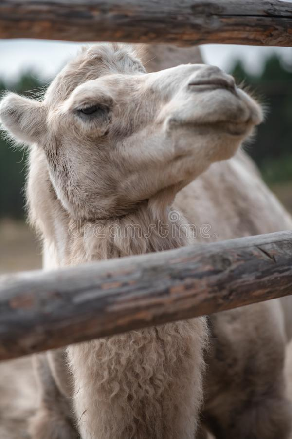 Portrait eines Kamels lizenzfreie stockbilder