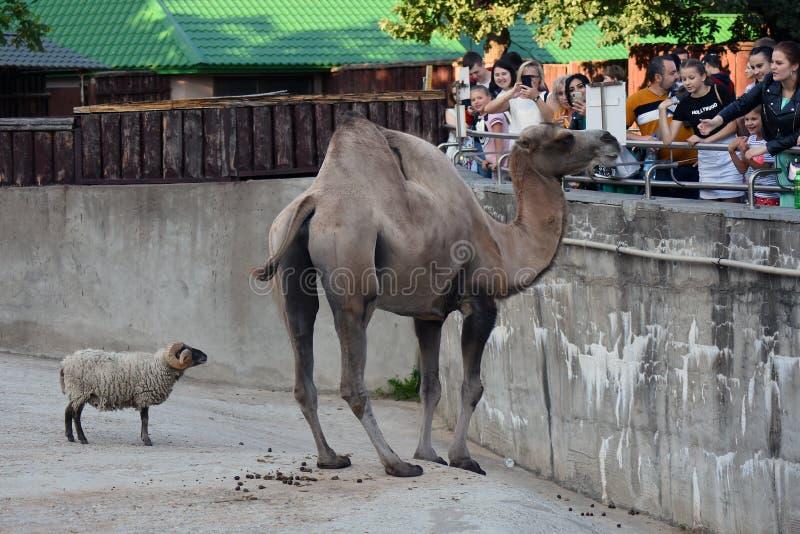 Portrait eines Kamels Farbfoto gemacht an Moskau-Zoo stockbild
