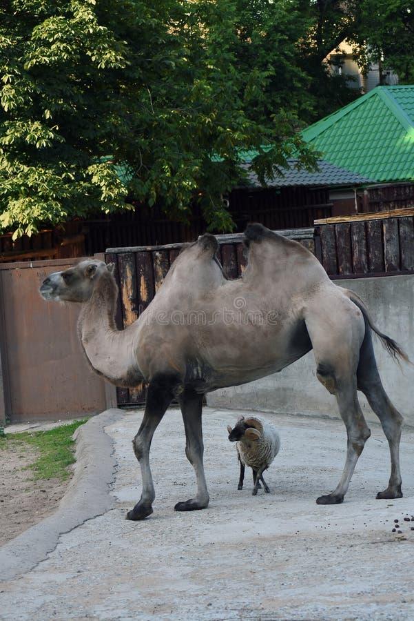 Portrait eines Kamels Farbfoto gemacht an Moskau-Zoo stockfotografie