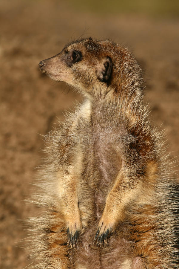 Portrait eines meerkat lizenzfreie stockbilder