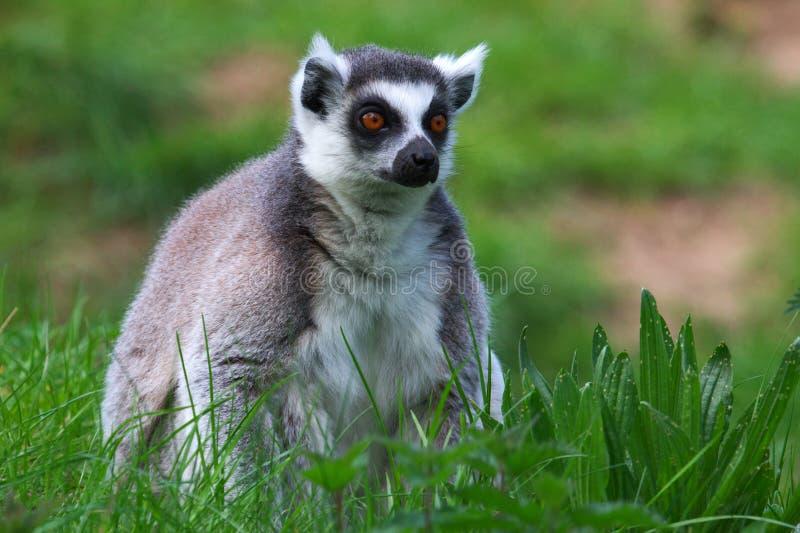 Download Portrait Eines Ring-tailed Lemur Stockbild - Bild von primas, madagaskar: 9093861