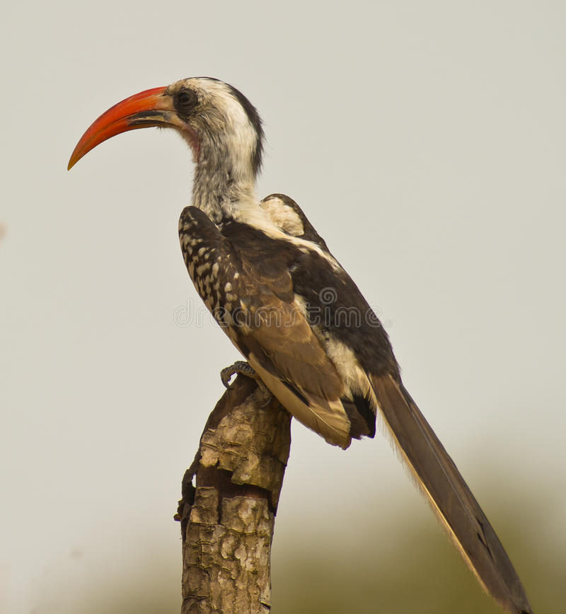 Portrait eines rot-berechneten Hornbill stockfotos