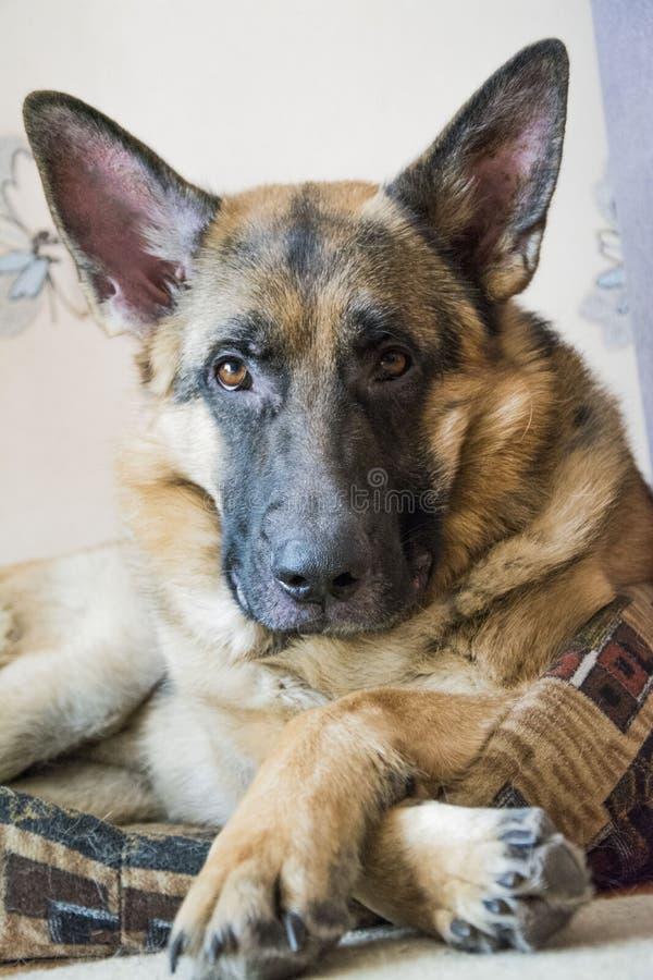 Portrait eines Schäferhunds lizenzfreies stockbild
