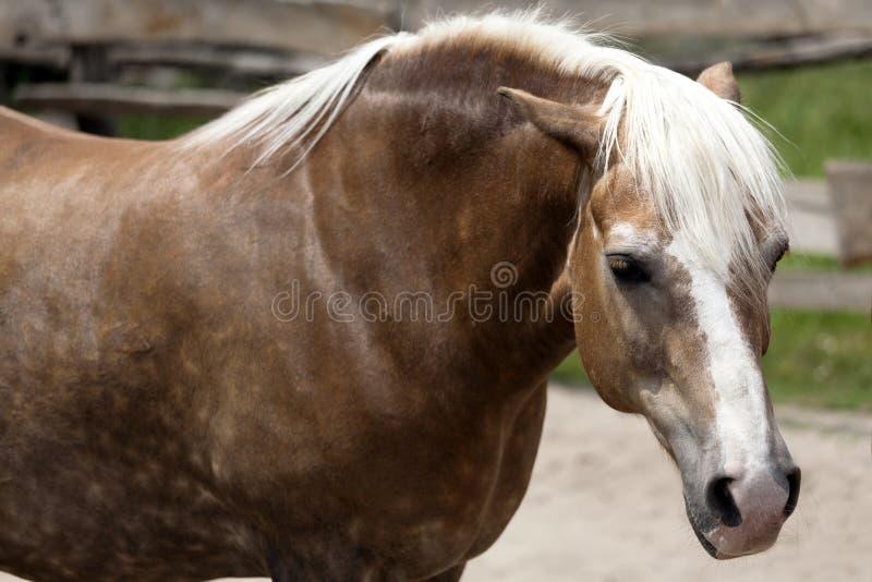 Portrait eines schönen braunen Pferds lizenzfreie stockfotografie