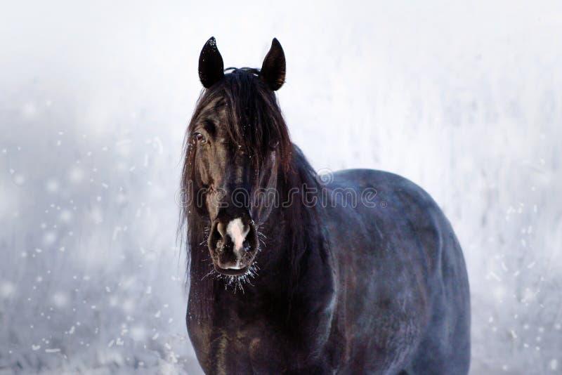 Portrait eines schwarzen Stallion lizenzfreies stockbild