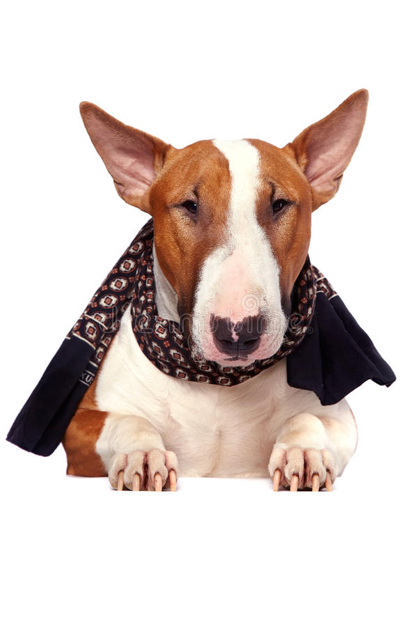 Download Portrait Eines Stierterriers In Einem Schal Stockbild - Bild von säugetier, spaß: 27725227