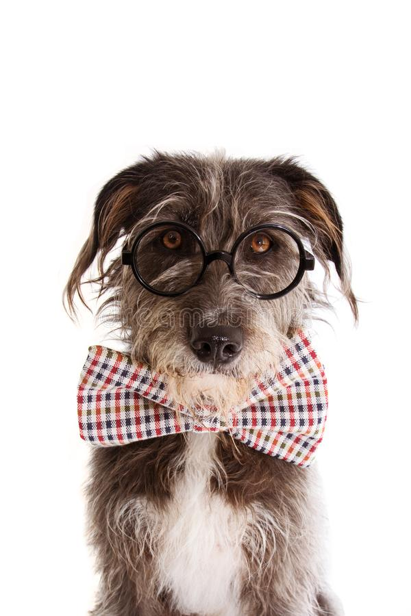 PORTRAIT ELEGANT DOG CELEBRATING A BIRTHDAY, FATHERS DAY  OR ANNIVERSARY WEARING VINTAGE CHECKERED BOW TIE WITH CUTE EYES. stock images