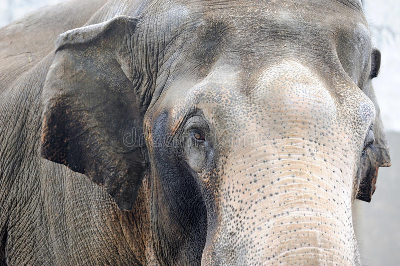 Download Portrait of an elephant stock image. Image of endangered - 21377105