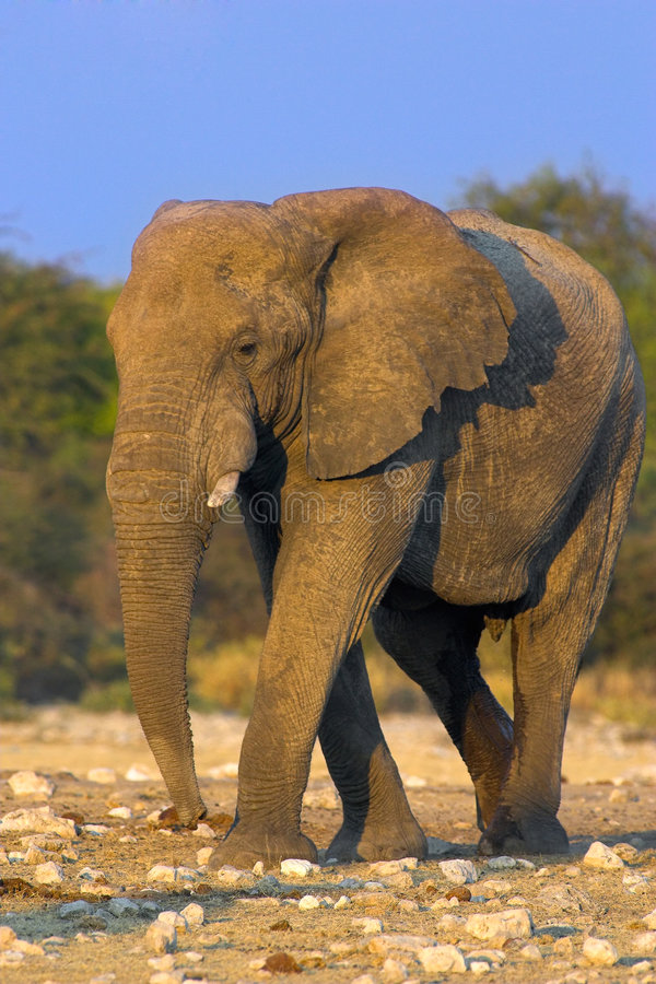 Portrait of an elephant. At a waterhole. The shot was taken in Etosha Park, Namibia royalty free stock image