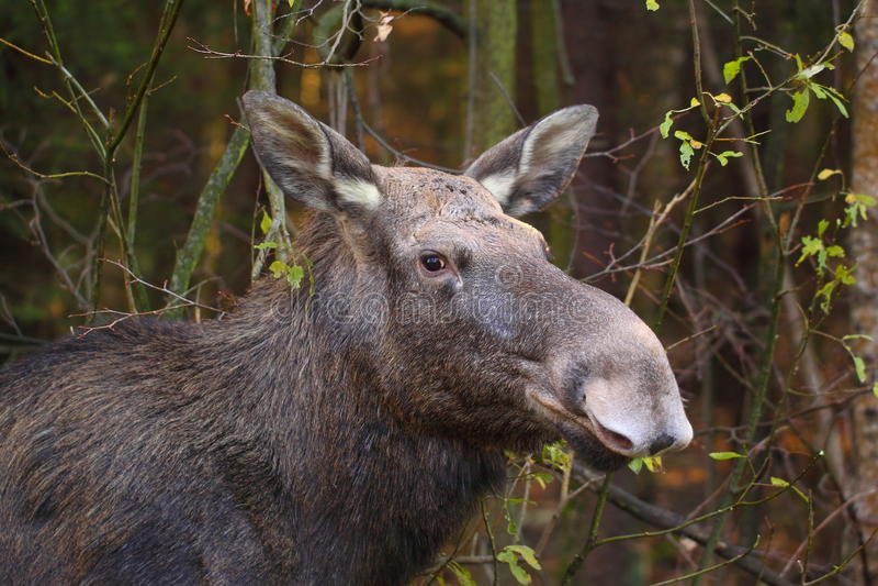 Download Portrait of elk female stock image. Image of autumn, sound - 42173129