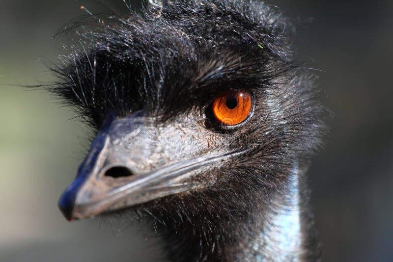 Portrait of an Emu in Australia royalty free stock photos