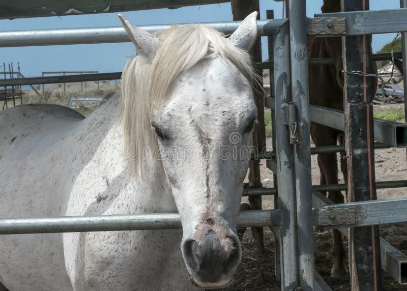 Portrait en gros plan d'un cheval blanc se tenant dans une stalle Museau d'un cheval photos libres de droits