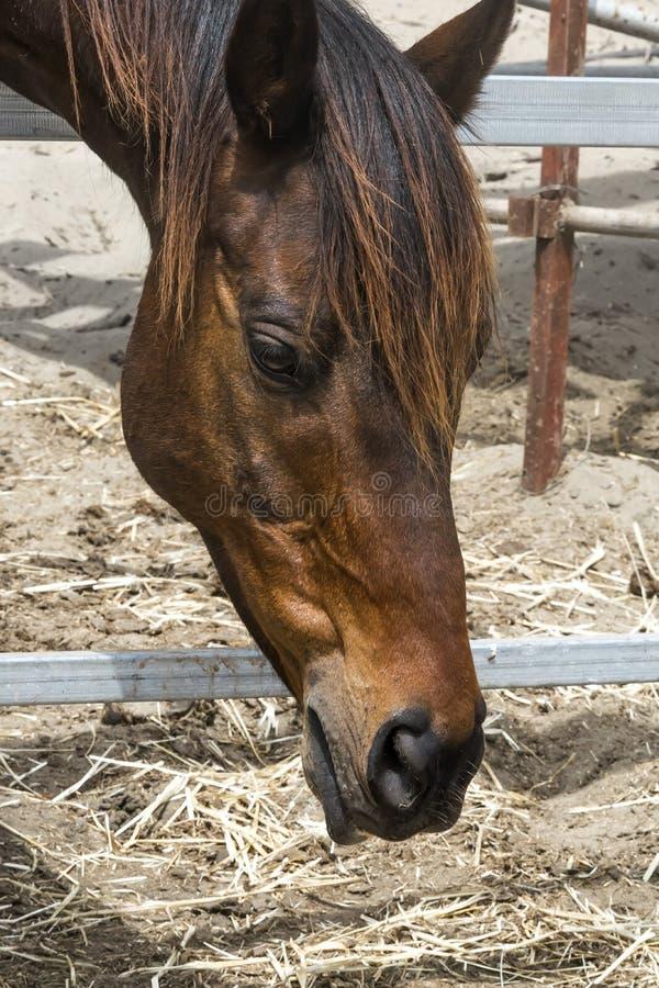 Portrait en gros plan d'un cheval brun se tenant dans une stalle Museau d'un cheval regardant vers le bas photographie stock