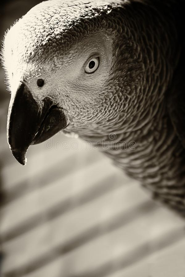 Portrait en gros plan d'un perroquet gris en noir et blanc photo libre de droits