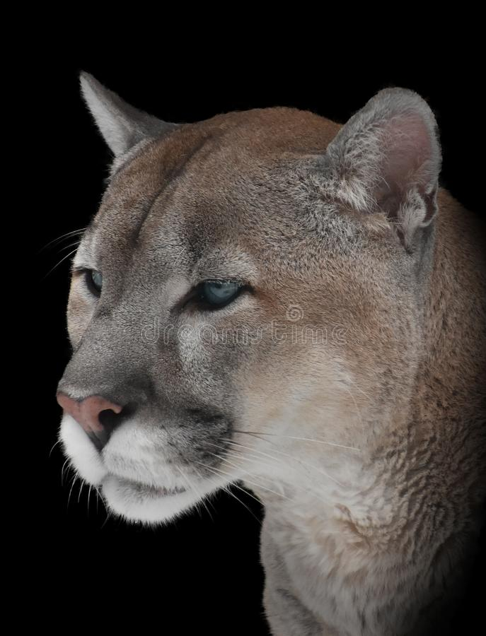 Portrait en gros plan d'un puma de montagne photo stock