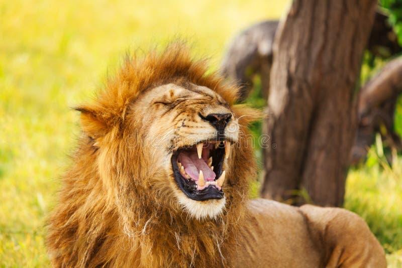 Portrait en gros plan d'un vieux lion de baîllement photos stock