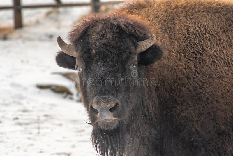 Portrait en gros plan de bison américain Bison Bison images libres de droits