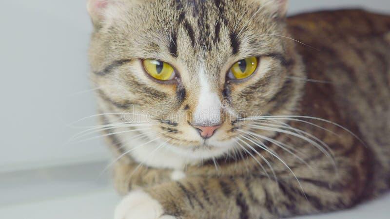 Portrait en gros plan de chat du Bengale sur le fond blanc image stock