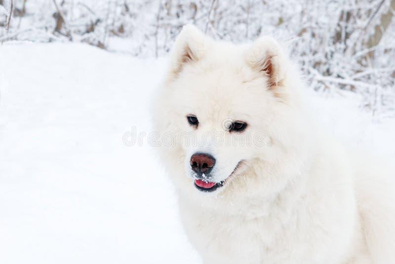 Portrait en gros plan de chien blanc de Samoyed dans la forêt d'hiver images libres de droits