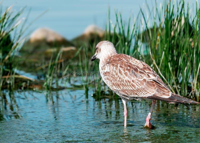 Portrait en gros plan de dos de l'oiseau brun gris de mouette marchant sur le rivage dans l'eau bleue dans l'herbe verte Beau lum photographie stock