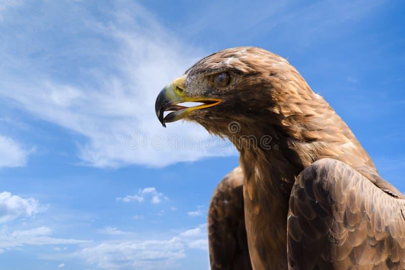 Portrait en gros plan de grand aigle d'or au-dessus de ciel bleu profond photos stock