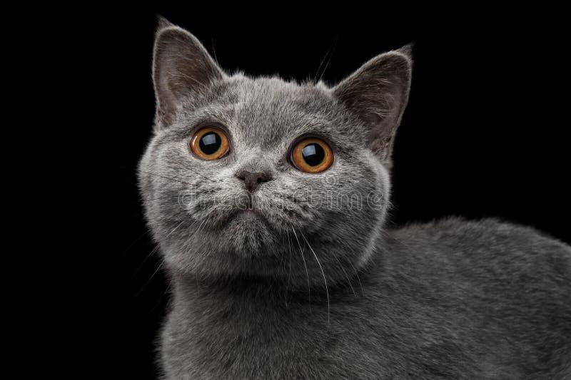 Portrait en gros plan de Gray British Kitten sur le fond noir d'isolement photo stock