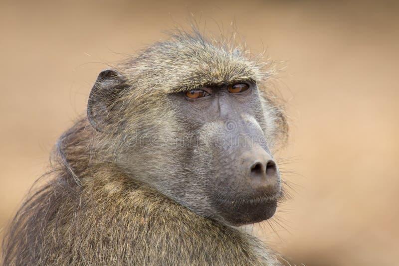Portrait en gros plan de regarder principal de babouin de Chacma dans fixement le distanc photographie stock