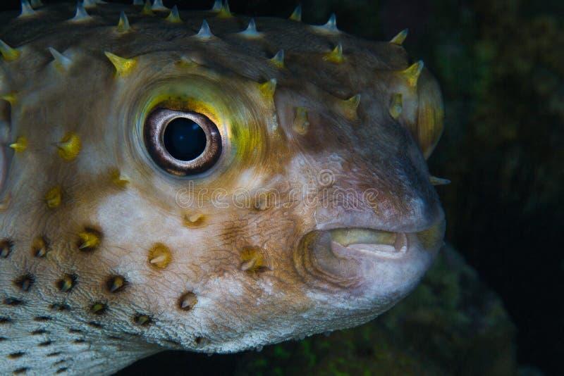 Portrait en gros plan drôle de blowfish (nicthemerus de Diodon) tropical image stock