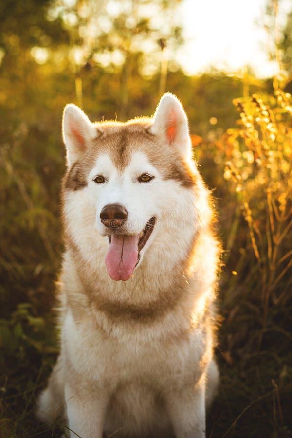 Portrait en gros plan du beau chien enroué sibérien beige et blanc se reposant dans les buissons de dogrose au coucher du solei images libres de droits
