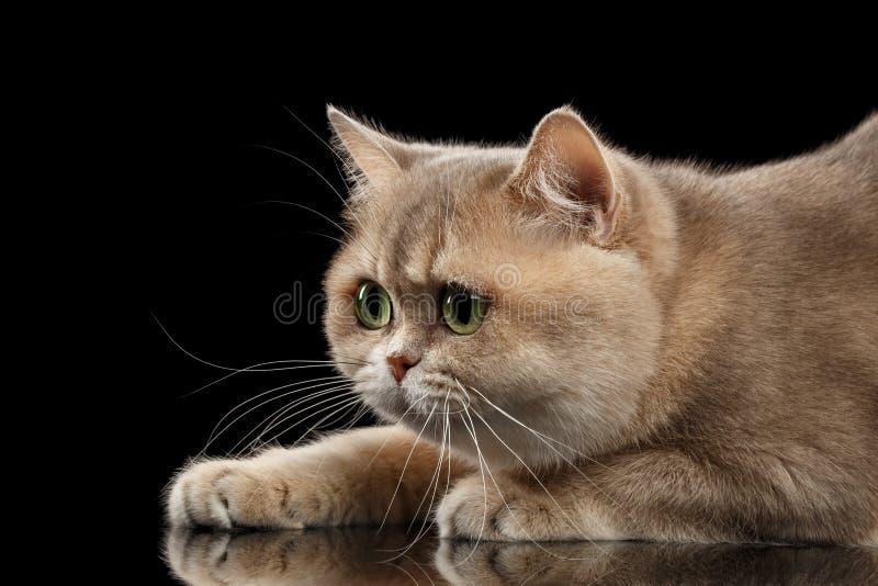 Portrait en gros plan les Anglais Cat Gold Chinchilla, dans le profil, noir d'isolement image stock