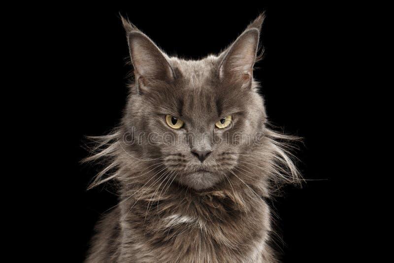 Portrait en gros plan Maine Coon Cat sur le fond noir images libres de droits
