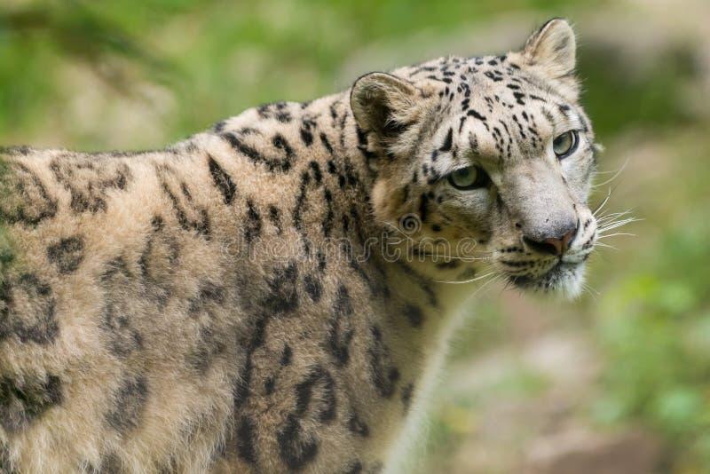Portrait of endangered asian snow leopard stock image